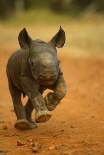 Rhino-8d147ca5b63dff91739a46b9b448b4a0